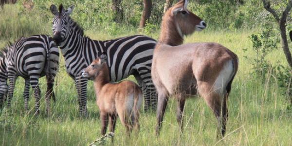 Enjoy Uganda Wild Life